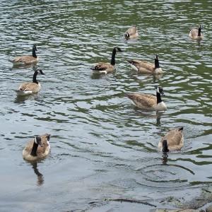 ducks-on-water