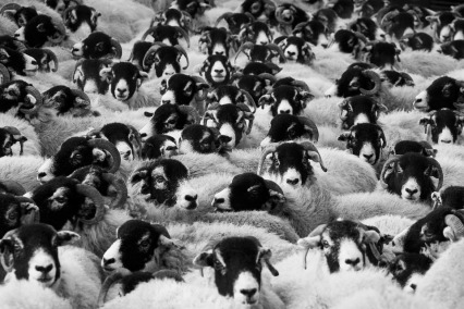 sheep-herd